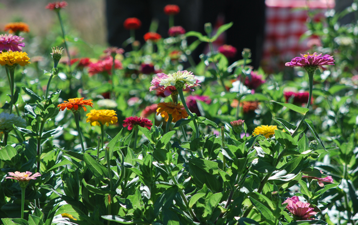 zinnias at Grassroots Farm, Monroe, WI