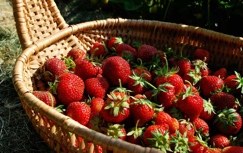 basket of organic strawberries