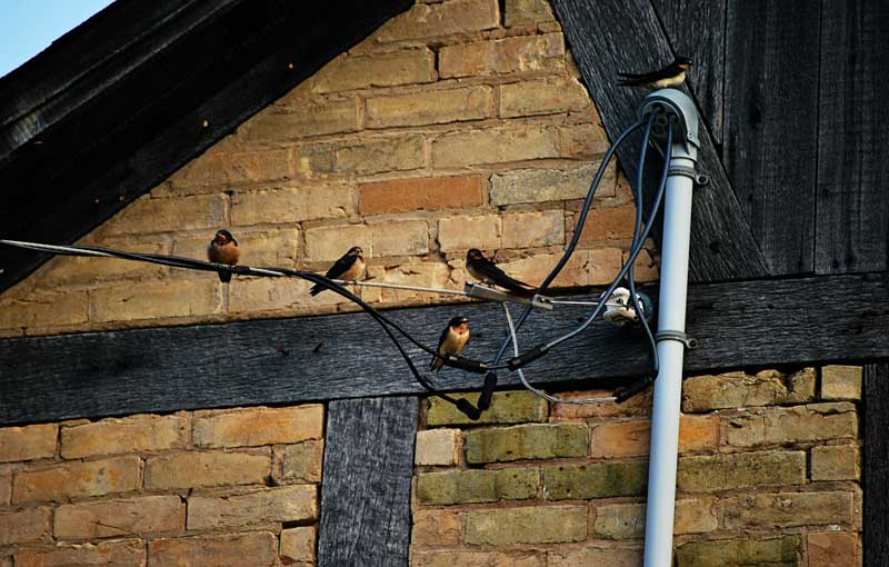 barn swallows on a wire in Wisconsin