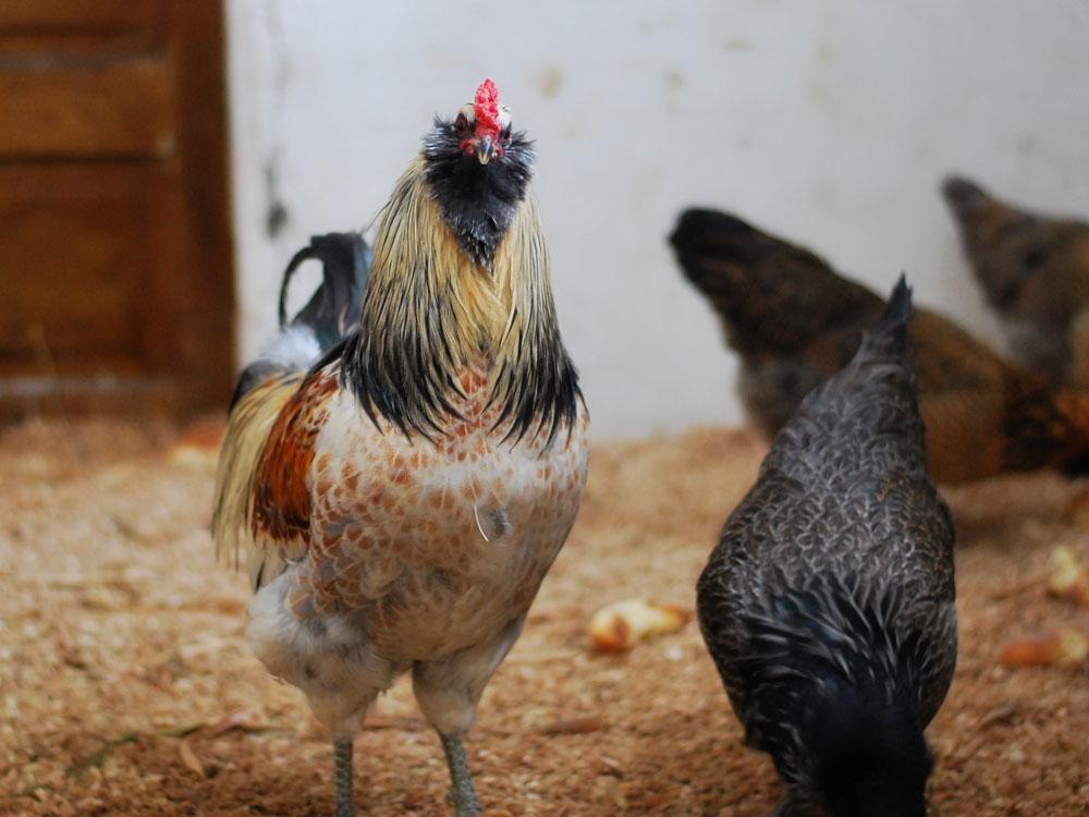 My Americana rooster, Cornwallis
