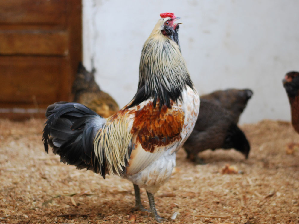 Easter Egger rooster crowing